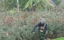 Cận ngày 8/3, nông dân Tây Tựu phấn khởi vì hoa được giá
