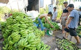 Giá chuối tăng cao, nông dân lãi khá