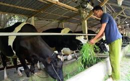 Sau chỉ đạo của Bí thư Đinh La Thăng: Trên 900 hộ dân nuôi bò vẫn lao đao vì chưa bán được sữa