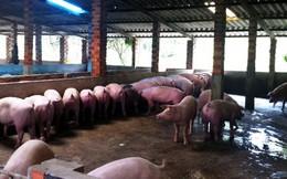 Vắng bóng thương lái thu mua – giá lợn đang giảm sâu