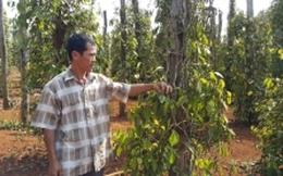 Hơn 42.300ha cây trồng ở Đắk Lắk bị thiệt hại do hạn hán