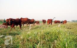 """Khu sinh thái sang trọng """"đáng sống nhất"""" Hà Nội trở thành nơi """"nghỉ dưỡng"""" cho... bò"""