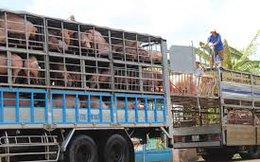 Lợn hơi rớt giá vì Trung Quốc giảm mua