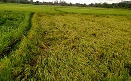 Hậu Giang: Hàng nghìn hecta lúa Đông Xuân đổ ngã trước ngày thu hoạch