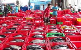 """Ngư dân Khánh Hòa """"được mùa"""" với cá ngừ sọc dưa"""