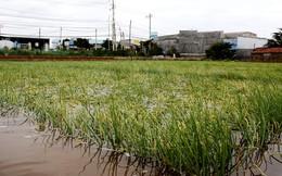 Nông dân trồng hành ở Ninh Thuận trắng tay vì mưa lũ