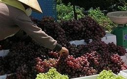 Thận trọng khi mua nho chùm Ninh Thuận