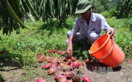 Khuyến cáo nông dân không trồng thanh long ồ ạt