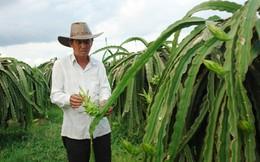 Người trồng thanh long rời bỏ VietGAP vì thấy lợi trước mắt
