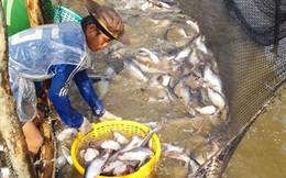 Xuất khẩu cá tra 2016: Doanh nghiệp kêu thiếu nguyên liệu