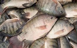 Cá rô phi Việt đắt hàng ở Mỹ