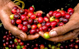 Xuất khẩu nhiều thứ 2 thế giới những vẫn thiếu bản sắc, cà phê Việt đang thua đau