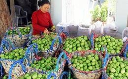 """""""Táo Ninh Thuận"""" chuẩn VietGAP ra thị trường"""