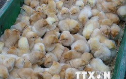 Cần có hàng rào kỹ thuật đủ mạnh khi nhập gà từ Trung Quốc