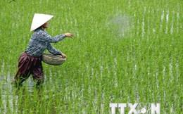 Cục Trồng trọt yêu cầu nông dân không dùng ximăng bón cho lúa
