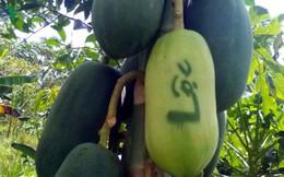 Nông dân miệt vườn trồng trái cây tạo hình thu tiền tỷ dịp Tết