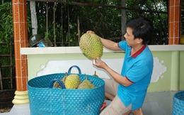 Chưa có năm nào người trồng sầu riêng Châu Thành vui như năm nay!