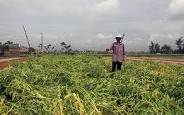 Nông dân xứ nghệ trắng tay sau mưa lũ
