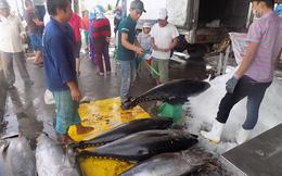 Khánh Hòa trúng vụ cá ngừ