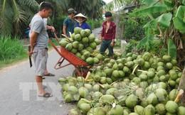 Dừa tươi tăng giá mạnh