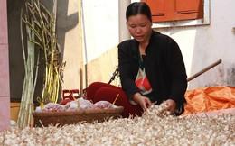 Tiếp bài tỏi voi 'bóp chết' tỏi Lý Sơn: Nhiều giống cây thuần Việt đang biến mất