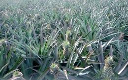 Nông dân trồng khóm điêu đứng vì hàng dội chợ