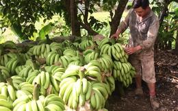 Vựa chuối Lào Cai chín vàng khắp nơi, dân chán nản không buồn thu hoạch!