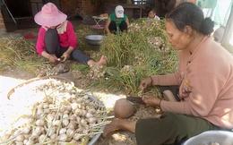 Giá tỏi cao kỷ lục, nông dân Khánh Hòa được mùa kép