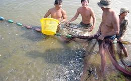 ĐBSCL: Cá tra giống tăng giá