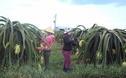 Nông dân Bình Thuận tiếc 'đứt ruột' khi giá thanh long tăng mạnh