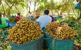 Nhãn Tây Ninh giảm giá kỷ lục