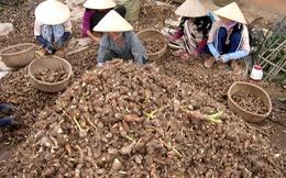 Lợi nhuận trồng khoai cao hơn lúa 130 triệu đồng/ha
