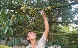 Sầu riêng - trái cây bạc tỷ