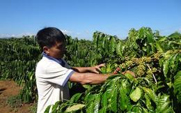 Giá thấp, cà phê Việt Nam vẫn gặp khó trong vài tháng tới