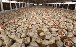 Giá gà xuống thấp, có phải do gà nhập khẩu?