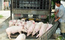 Chớ vội tăng đàn ngay khi giá lợn tăng trở lại