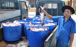 Cá tra giá tăng cao, song vẫn chưa hết lo