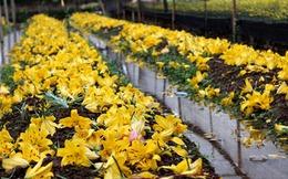 Ly rụng đầy vườn, nông dân Tây Tựu mất Tết