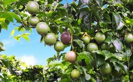 Lợi nhuận từ bán trái cây của Hoàng Anh Gia Lai đang cao hơn hẳn so với dự tính
