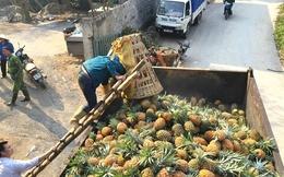 Thu mua số dứa thối bất thường ở Lào Cai là để tiêu hủy