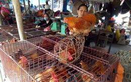 Thương lái kiếm bội tiền từ người... nuôi gà