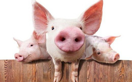 Trung Quốc lên kế hoạch mở rộng quy mô chăn nuôi lợn