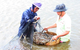 Nuôi kết hợp tôm sú, ốc hương, hải sâm và rong biển cho hiệu quả cao