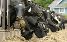 Mỹ: Sữa không đủ tiêu chuẩn nhưng vẫn được gắn mác hữu cơ và bán giá đắt gấp đôi