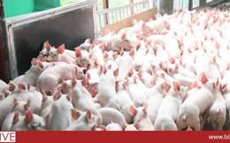 """Hộ chăn nuôi lợn Hà Nội đã """"mất"""" 1.500 tỷ trong 6 tháng qua"""