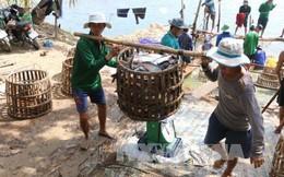 Cá tra tăng giá, người nuôi có lãi