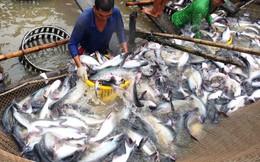 """Nông dân nuôi cá tra """"ăn mừng"""" vì giá cá thương phẩm tăng"""