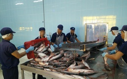 Giá cá tra tiếp tục tăng, lên mức cao nhất trong 7 năm