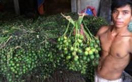 Tái diễn lùng mua trái cau non để xuất khẩu