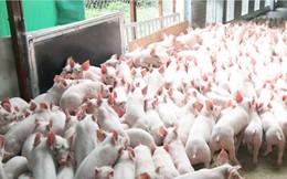 Năm 2018 sẽ cấm dùng kháng sinh trong chăn nuôi